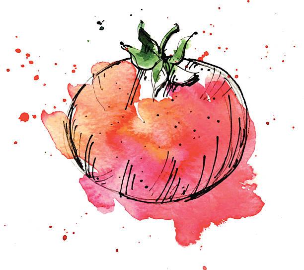 Watercolor illustration of tomato vector art illustration