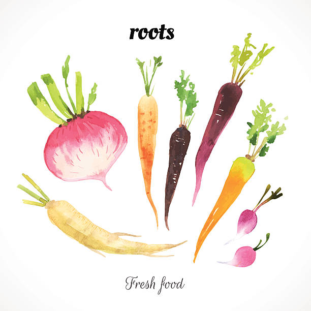 Watercolor illustration of vegetables of a painting technique. Fresh organic food. Provencal style. Set of roots. Carrot, radish & parsley root. radish stock illustrations
