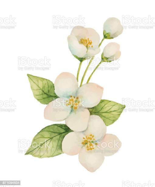 Watercolor jasmine isolated on a white background vector id871094534?b=1&k=6&m=871094534&s=612x612&h=hu kadxa24wcxziymcfz3pmr u0rujv1q7gel1sxdf8=
