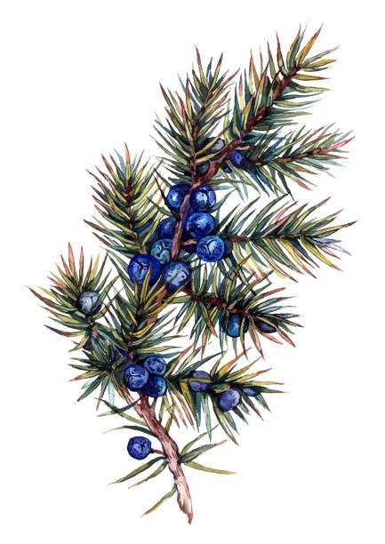 Watercolor Juniper Branch vector art illustration