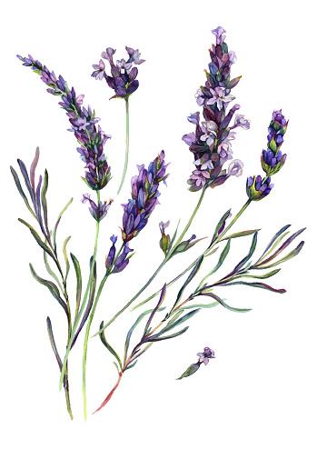 Watercolor Lavender Composition