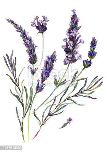 Watercolor Painting of Lavender Flowers Blossoms, Leaves and Buds. Botanical Illustration of Lavandula Flower Isolated on White Background. Vintage Style Floral Decoration.