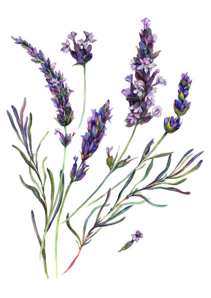 Watercolor Lavender Composition Watercolor Painting of Lavender Flowers Blossoms, Leaves and Buds. Botanical Illustration of Lavandula Flower Isolated on White Background. Vintage Style Floral Decoration. lavender plant stock illustrations