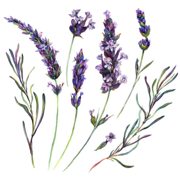 Watercolor Lavender Elements Watercolor Collection of Lavender Flowers Blossoms, Leaves and Buds. Botanical Illustration of Lavandula Flower Isolated on White Background. Vintage Style Floral Decoration. lavender color stock illustrations