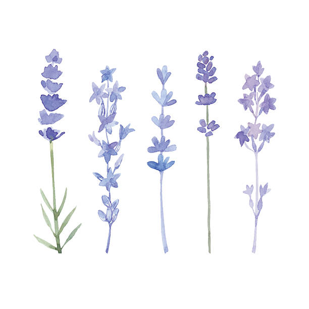 Watercolor lavender set. Set of different lavender flowers  painted by watercolor, vector illustration. Lavender flowers isolated on white background. Vector illustration. lavender plant stock illustrations