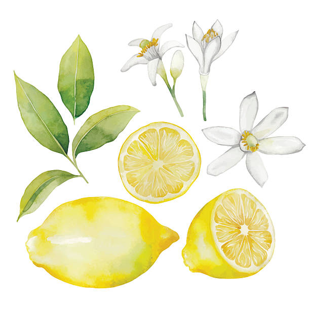 Watercolor lemon collection Watercolor lemon collection.  Fruit, leaves and flowers isolated on white background citrus fruit stock illustrations