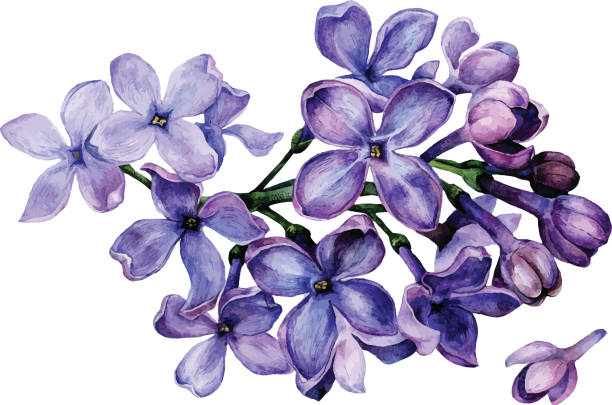 Watercolor lilac flowers vector art illustration