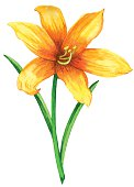 Watercolor lily flower closeup isolated on white background. Hand painting on paper