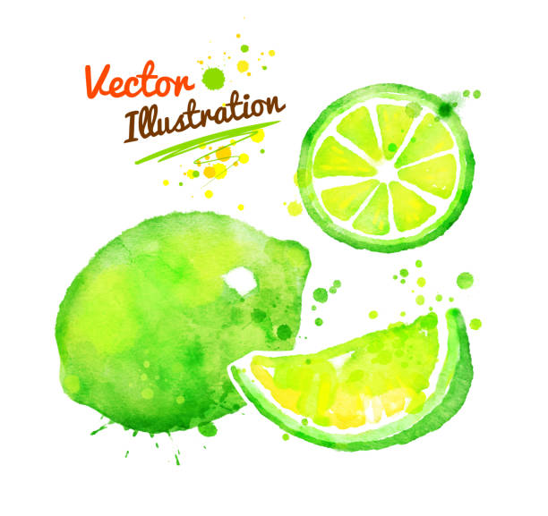 Watercolor lime. Vector watercolor hand drawn illustration of lime. lime stock illustrations