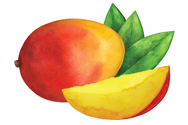 Watercolor mango fruit Watercolor mango fruit whole, slice and leaves closeup isolated on white background. Hand painting on paper mango stock illustrations