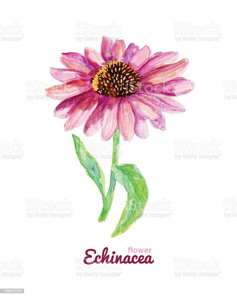 Watercolor medicinal flower of echinacea vector art illustration