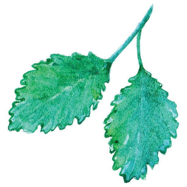Watercolor mint peppermint spearmint leaf isolated vector Watercolor mint peppermint spearmint leaf isolated vector. mint candy stock illustrations