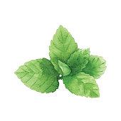 Vector illustration of Mint.