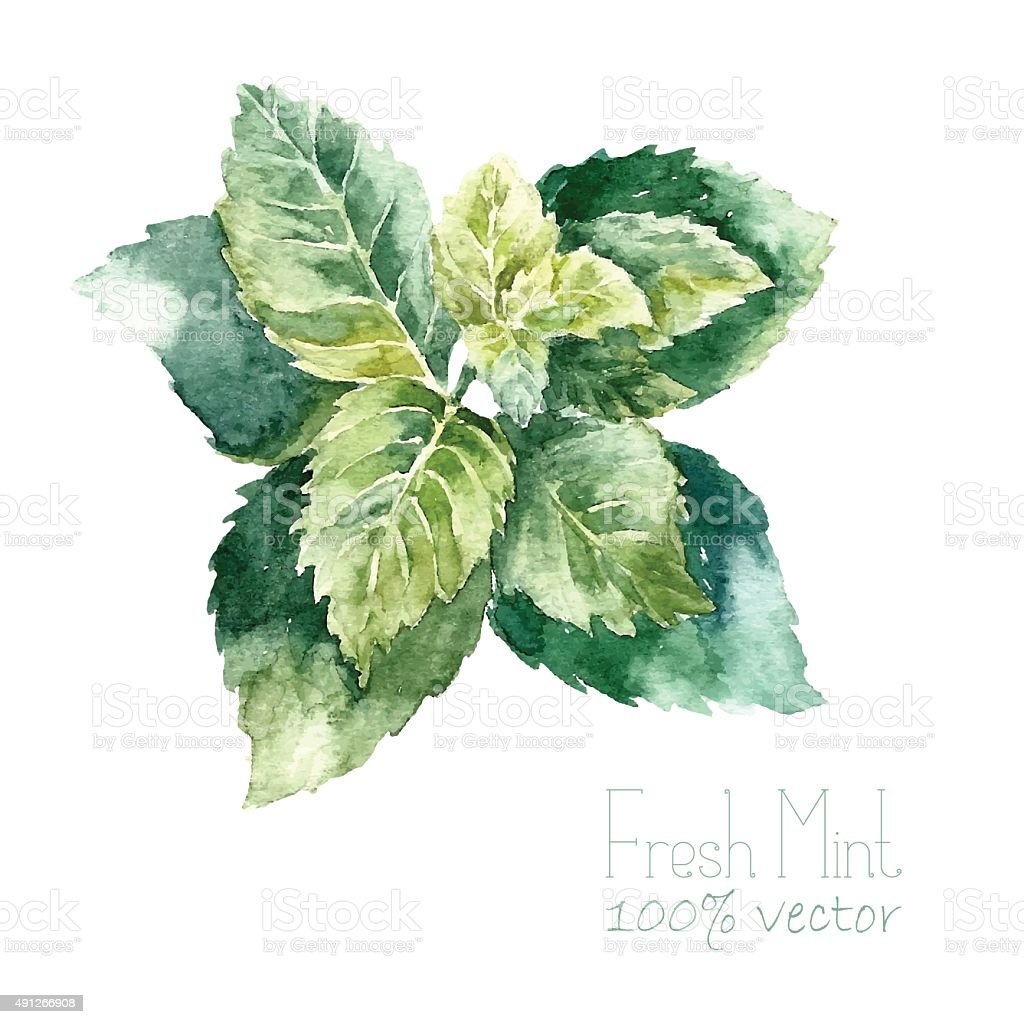 Watercolor mint. vector art illustration