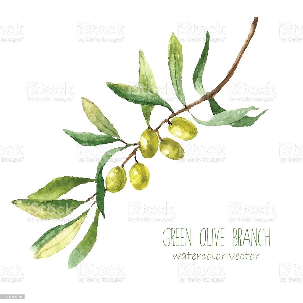 Watercolor olive branch background. vector art illustration