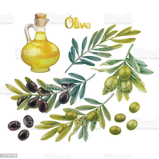 Watercolor olive collection vector id541983268?b=1&k=6&m=541983268&s=612x612&h=bavhviqx1tmvj w6vn8z1alctdnzio24uvbft ag my=