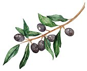 Watercolor olive oliva branch with olives isolated vector