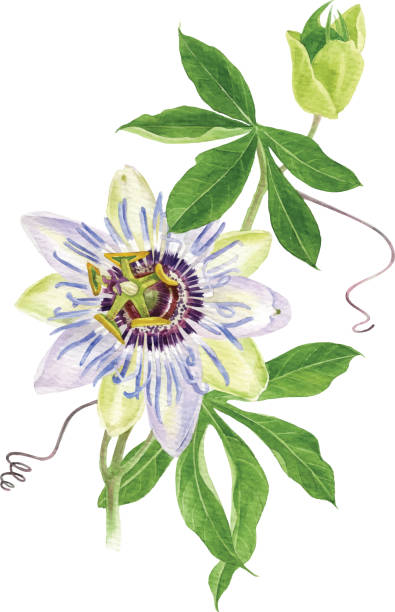illustrazioni stock, clip art, cartoni animati e icone di tendenza di watercolor passion flower branch - passiflora