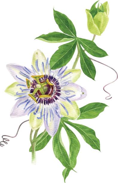 illustrations, cliparts, dessins animés et icônes de branche de fleur de passion aquarelle - fruit de la passion