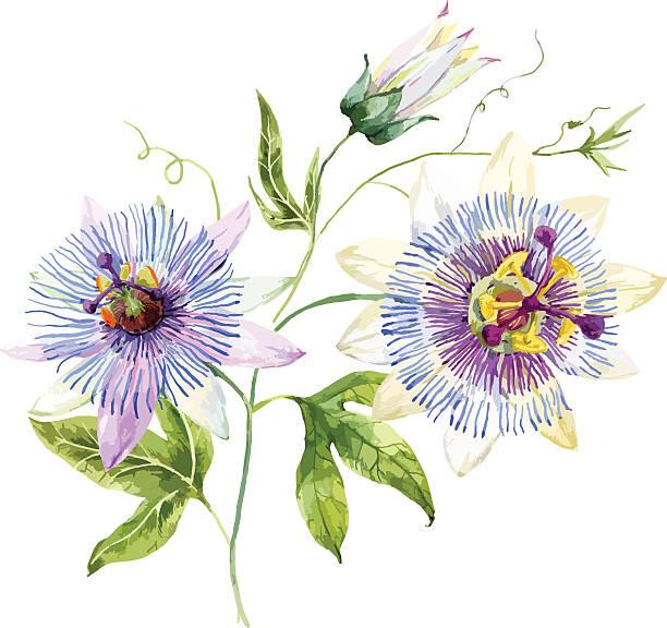 illustrazioni stock, clip art, cartoni animati e icone di tendenza di watercolor passion flower - illustrazioni di passiflora