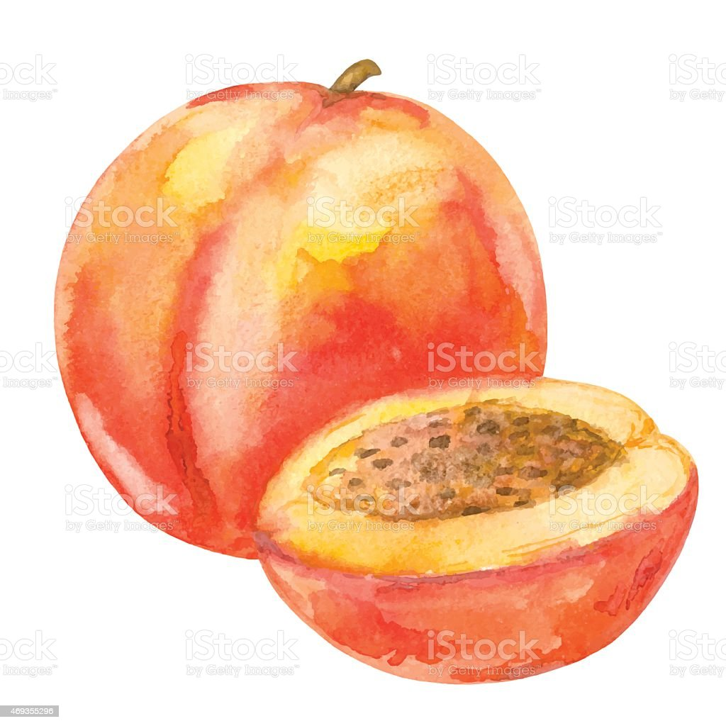 Watercolor peach fruit whole and slice closeup isolated vector art illustration