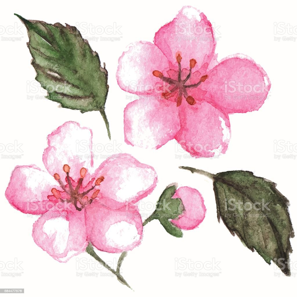 Watercolor pink cherry sakura flower isolated vector vector art illustration