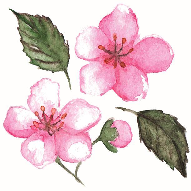 Watercolor pink cherry sakura flower isolated vector vector art illustration