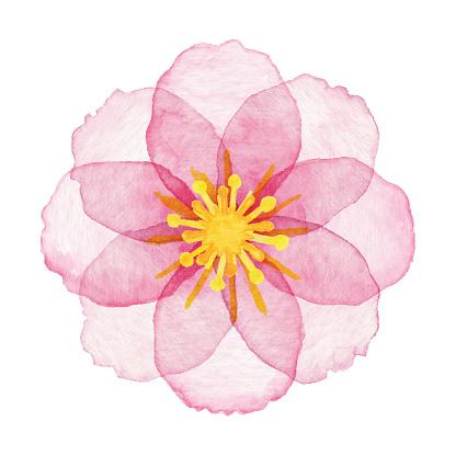Rosa flores acuarela