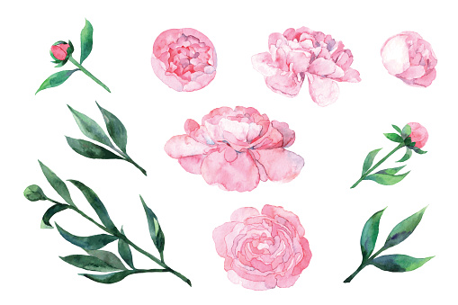 Watercolor pink peony. Set of glowers and leaves for card, invitation, paper. Vector illustration isolated on the white background.