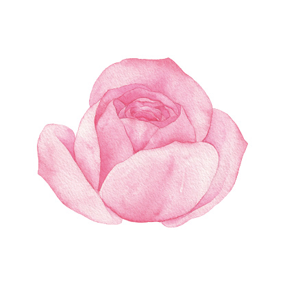 Watercolor Pink Rose Blossom
