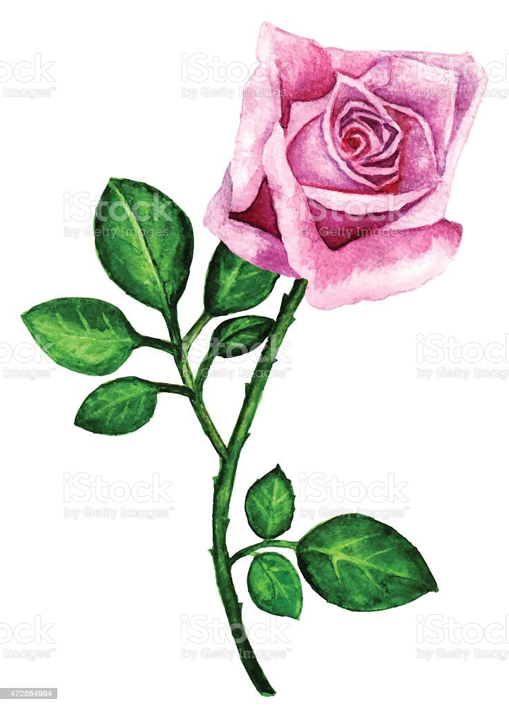 Watercolor pink rose flower with leaves closeup isolated stok vektr watercolor pink rose flower with leaves closeup isolated royalty free stok vektr sanat mightylinksfo