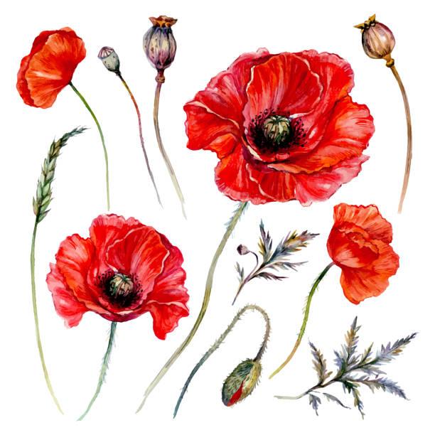 Watercolor Poppy Composition vector art illustration