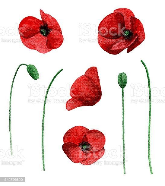 Watercolor poppy vector vector art illustration