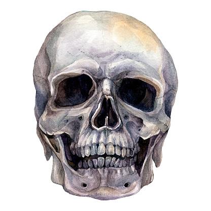 Watercolor Realistic Illustration of Human Skull