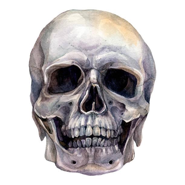 Watercolor Realistic Illustration of Human Skull vector art illustration