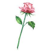 Vector illustration of rose.