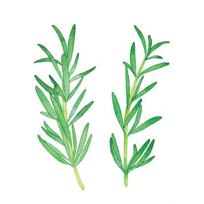 Watercolor Rosemary