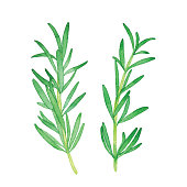 Vector illustration of rosemary herb.