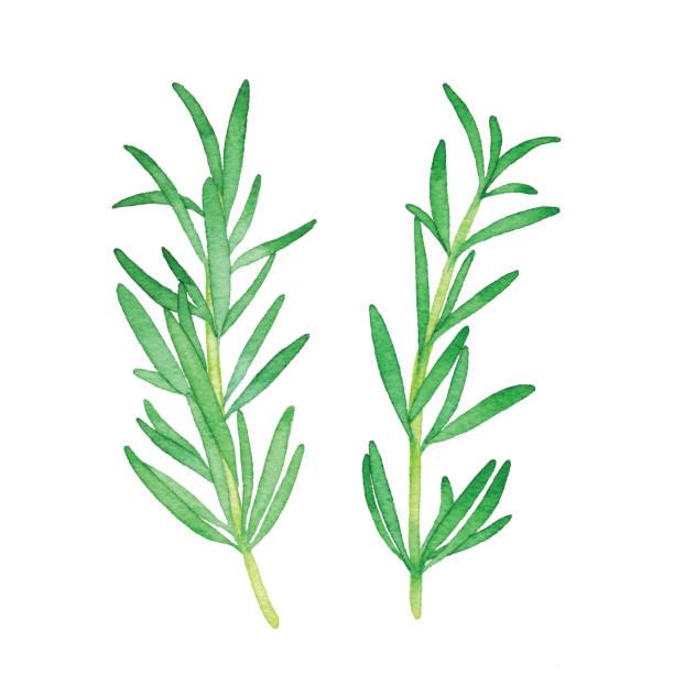 illustrazioni stock, clip art, cartoni animati e icone di tendenza di watercolor rosemary - organic food