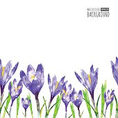 Watercolor seamless background with purple crocus flower and gre