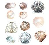 watercolor seashell for design