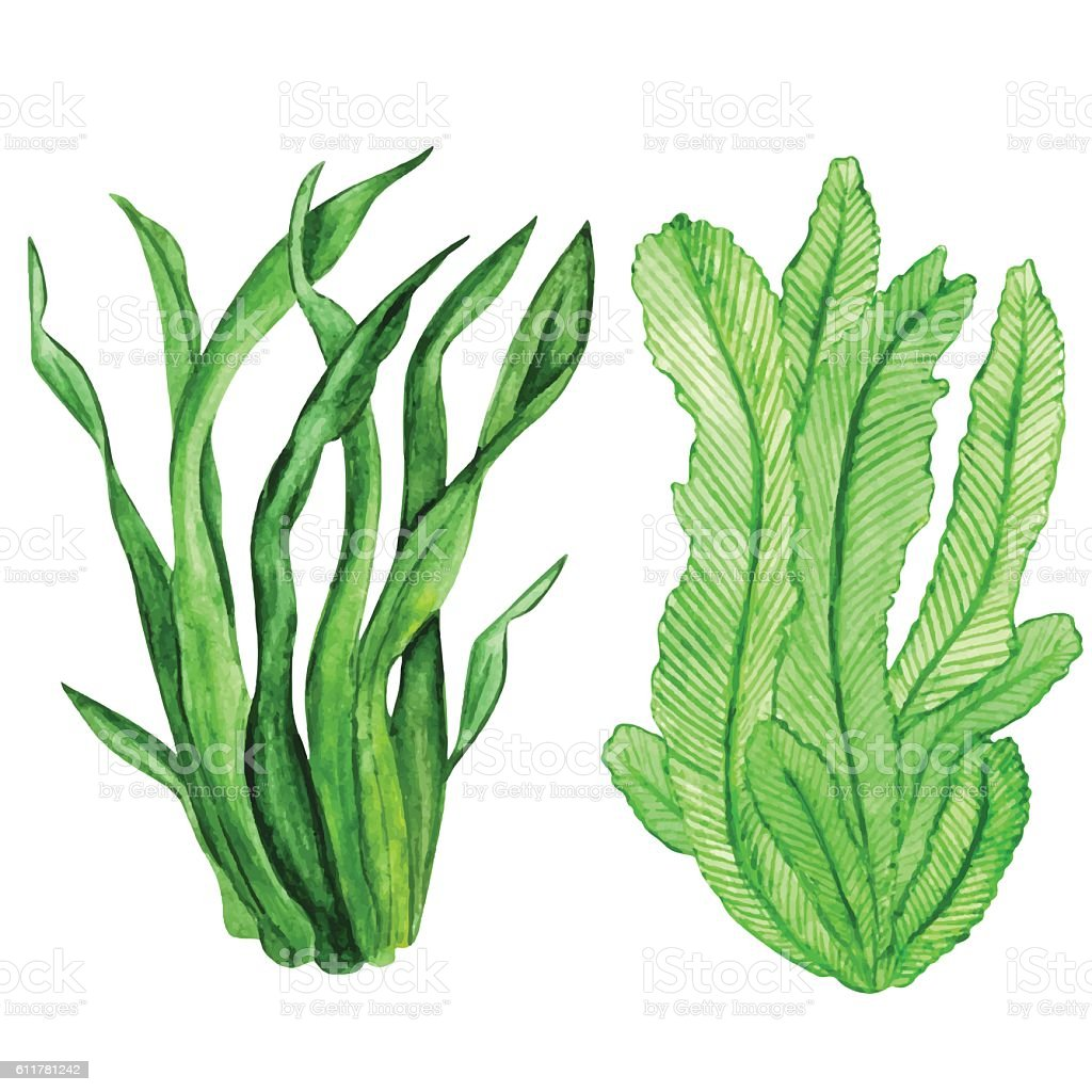 Watercolor seaweed, water plants - ilustración de arte vectorial