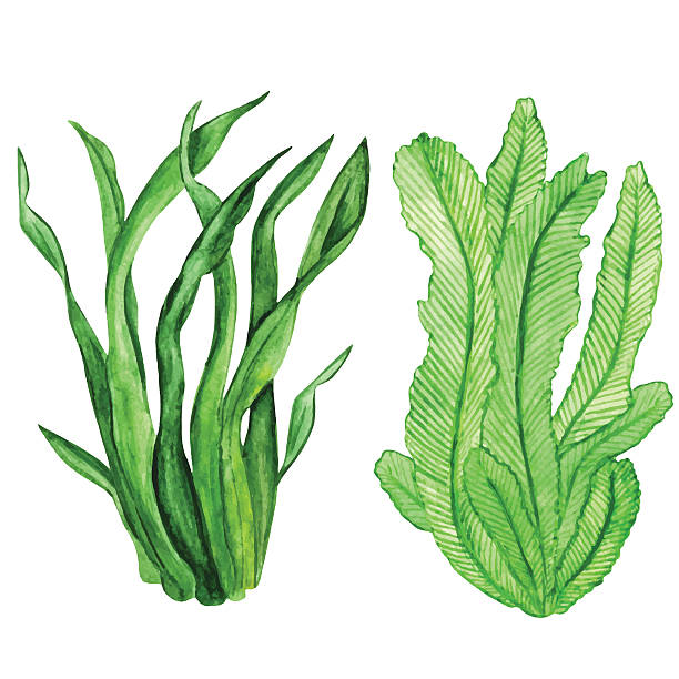 stockillustraties, clipart, cartoons en iconen met watercolor seaweed, water plants - zeewier