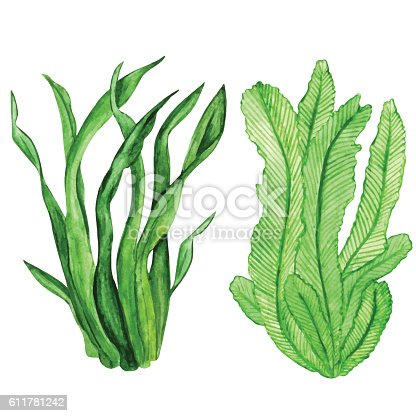 algae illustration watercolor seaweed water plants stock vector art more 1074