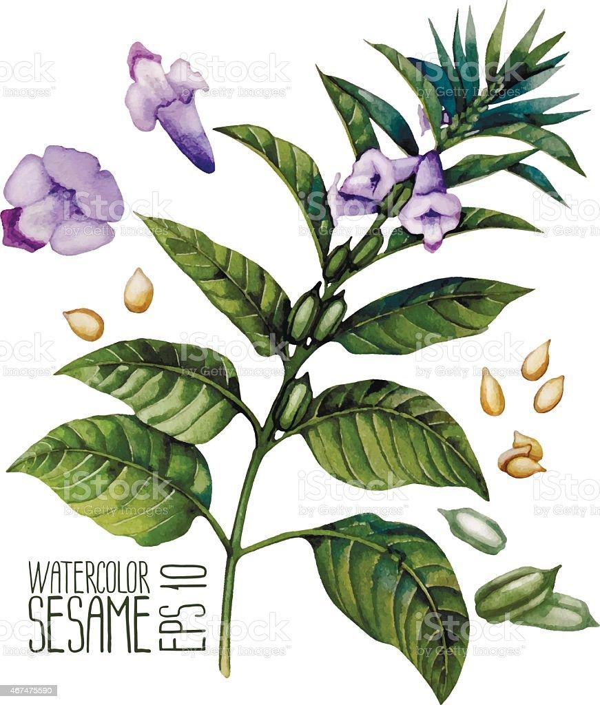 Watercolor sesame vector art illustration