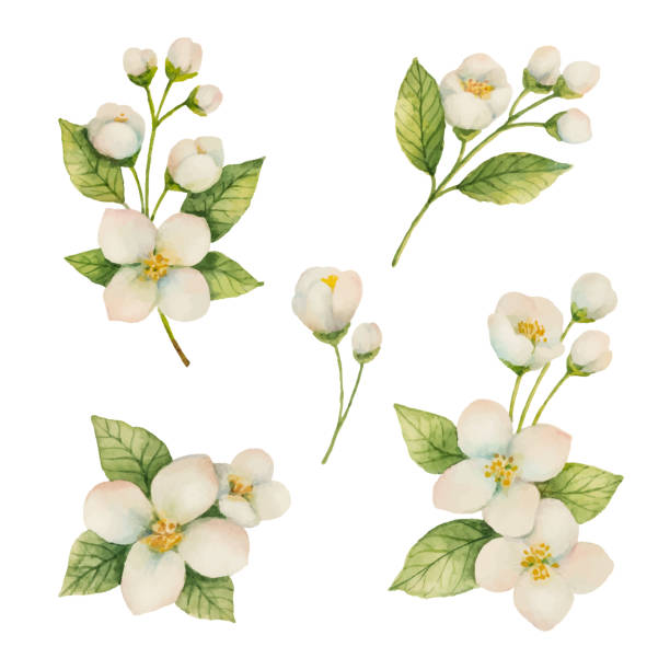 Watercolor set of flowers and branches Jasmine isolated on a white background. Watercolor set of flowers and branches Jasmine isolated on a white background. Floral illustration for design greeting cards, wedding invitations, natural cosmetics, packaging and tea. flower head stock illustrations