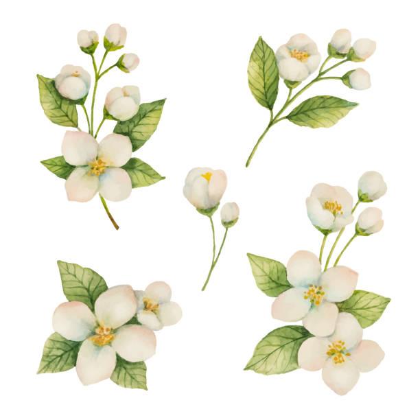 ilustrações de stock, clip art, desenhos animados e ícones de watercolor set of flowers and branches jasmine isolated on a white background. - angiospermas
