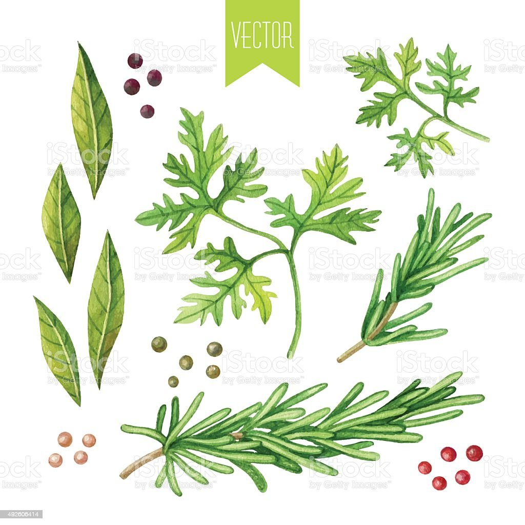Watercolor set of herbs vector art illustration