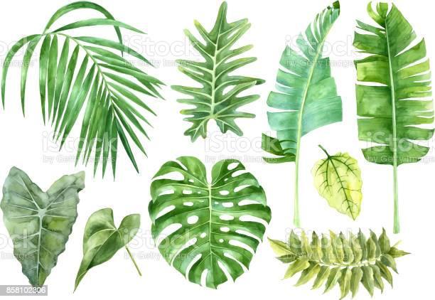 Watercolor set of tropical leaves vector id858102306?b=1&k=6&m=858102306&s=612x612&h=m1aggwro i3eybnydvkkysormieprxp1h2vkf4agvxc=