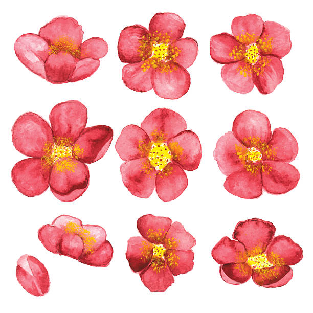 Watercolor sketch blossom sakura, cherry tree flowers Watercolor sketch blossom sakura, cherry tree flowers set closeup isolated on white background. Hand painting on paper apple blossom stock illustrations